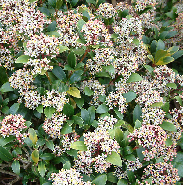 skimmia japonica 39 scarlet dwarf 39 skimmia information pictures cultivation tips. Black Bedroom Furniture Sets. Home Design Ideas