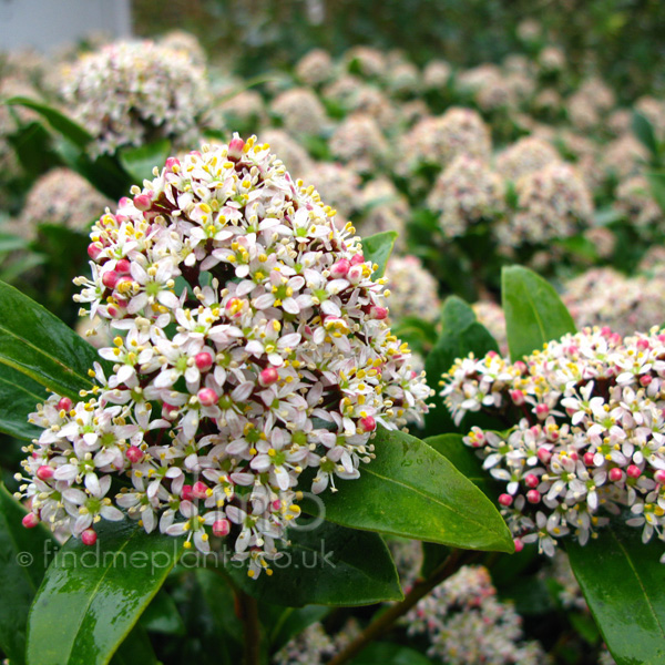 Big Photo of Skimmia Japonica, Flower Close-up