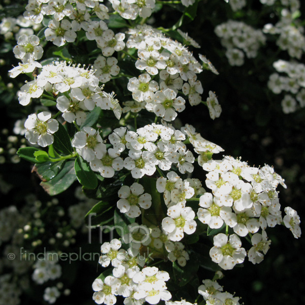Big Photo of Spiraea Nipponica, Flower Close-up