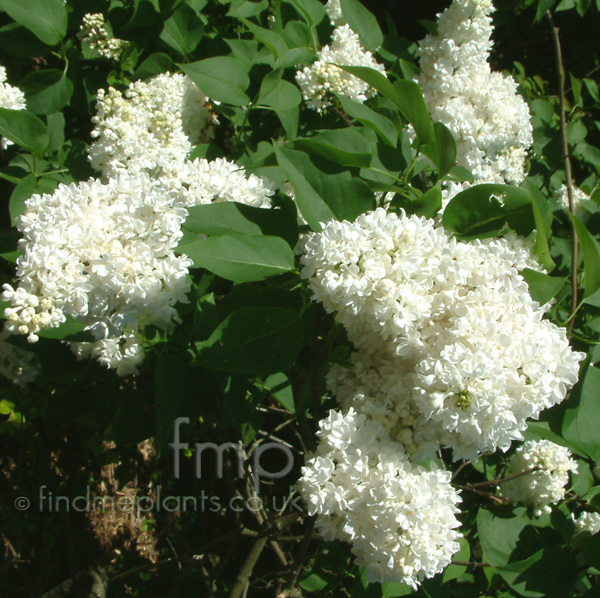 Big Photo of Syringa Vulgaris