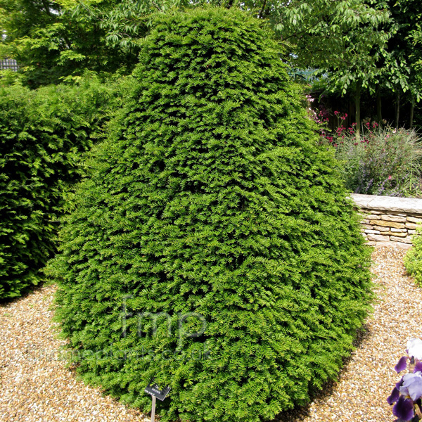 Big Photo of Taxus Baccata