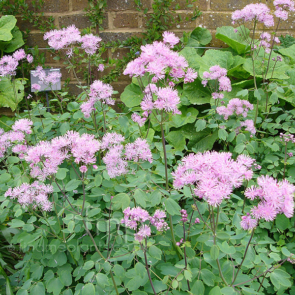 Big Photo of Thalictrum Aquilegifolium