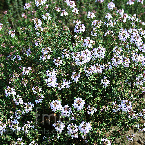Thymus vulgaris (Thyme): Information, Pictures & Cultivation Tips