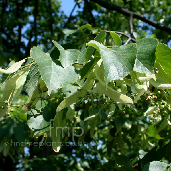 Close-up photo tilia