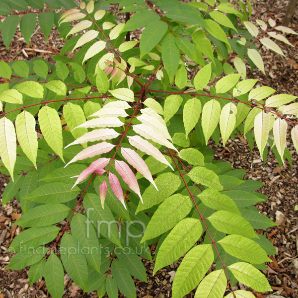 A Big Photo Of Toona Sinensis From Findmeplants