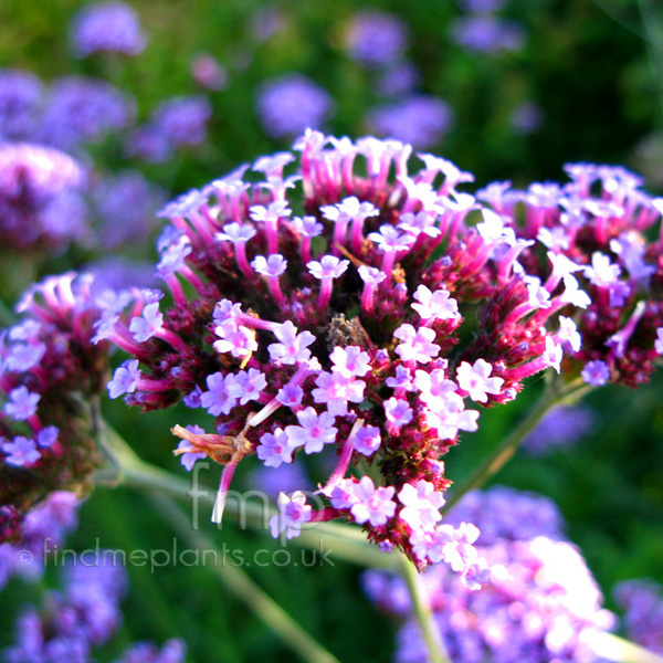 Big Photo of Verbena Bonariensis, Flower Close-up