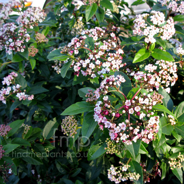 Big Photo of Viburnum Tinus