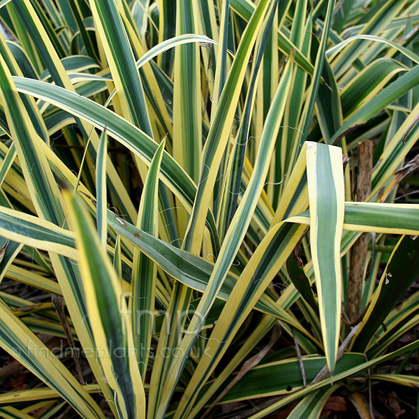 a big photo of yucca filamentosa from findmeplants. Black Bedroom Furniture Sets. Home Design Ideas